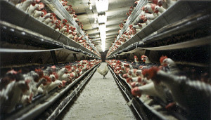factory-farming-chicken