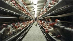 factory-farming-chicken
