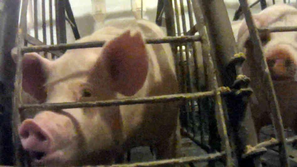 iron-maiden-pig-investigation