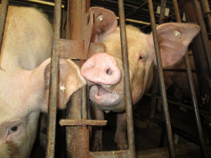 Pig factory farm, gestation crates