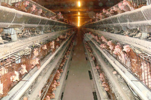 Mercy for Animals investigation threatened by ag-gag bills