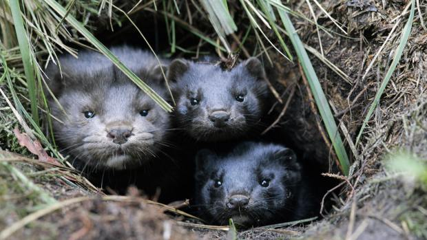 animal activists release mink from fur farms