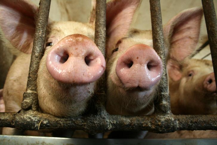 pig-cage-factory-farm